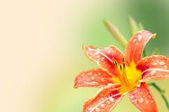 一个百合的花在一个轻的背景的 免版税图库摄影