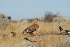 皇家老鹰未成熟的领域 库存照片