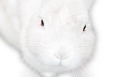 一个相当逗人喜爱的蓬松被隔绝的白色兔宝宝 库存图片