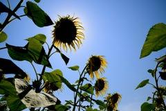 一个看法从下面在开花的向日葵 蜂明亮的中心花晚夏星期日向日葵黄色 免版税库存图片
