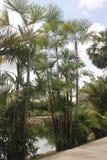 一个看法向几棵棕榈和一个池塘在他们后在Nong Nooch热带植物园里在芭达亚市附近在泰国 免版税库存图片