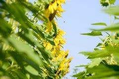 一个看法从下面在开花的向日葵 蜂明亮的中心花晚夏星期日向日葵黄色 免版税库存照片