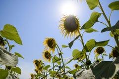 一个看法从下面在开花的向日葵 蜂明亮的中心花晚夏星期日向日葵黄色 库存图片