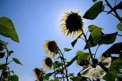 一个看法从下面在开花的向日葵 蜂明亮的中心花晚夏星期日向日葵黄色 库存照片