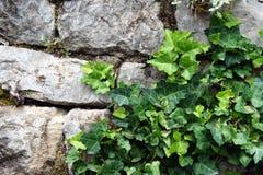一个石墙的片段有常春藤的 库存图片