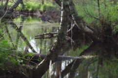 一个神秘的森林在达拉纳 图库摄影