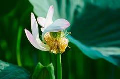 一个秀丽的莲花雌蕊 免版税库存照片