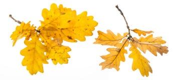 一个秋季橡木分支 免版税库存图片