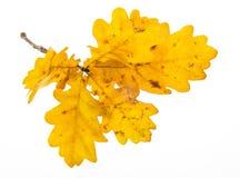 一个秋季橡木分支 免版税图库摄影