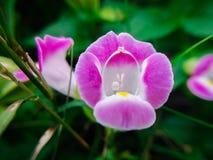 一个科学名字:Torenia fournieri菩提树 是毛地黄 库存照片