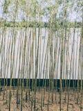 一个竹森林在春天 免版税库存图片