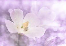一个精美狂放的桃红色鸦片冬葵的梦想的图象 免版税库存照片