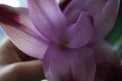 一个紫色百合的宏观射击在某人的手 免版税库存照片