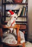 戴一个红色圣诞老人帽子的奇瓦瓦狗狗坐扶手椅子 库存照片