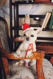 戴一个红色圣诞老人帽子的奇瓦瓦狗狗坐扶手椅子 免版税库存照片
