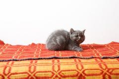一个红色地毯的英国Shorthair婴孩 免版税库存照片