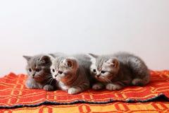一个红色地毯的英国Shorthair婴孩 库存照片