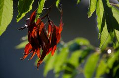 一个红色季节的开始 库存照片