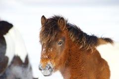 一个红色小马在雪站立 免版税图库摄影