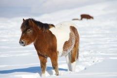 一个红色小马在雪站立 库存图片