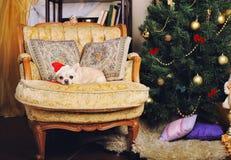 戴一个红色帽子的可爱的奇瓦瓦狗狗在新年装饰与葡萄酒armchairr的内部 免版税库存图片