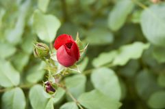 一个红色庭院的芽上升了 免版税库存照片