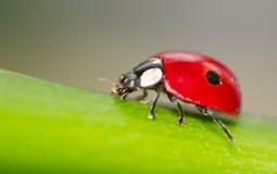 一个红色瓢虫的宏指令 免版税库存照片