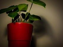 一个红色罐的植物 库存图片