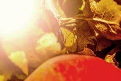 一个红色苹果的宏观照片与一只蜘蛛的在叶子中的一片叶子, 库存图片