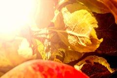 一个红色苹果的宏观照片与一只蜘蛛的在叶子中的一片叶子, 库存照片