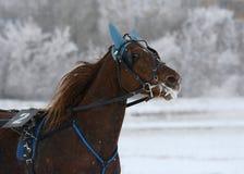 一个红色马小跑步马品种的画象在行动的 免版税库存照片