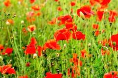一个红色鸦片领域春天 免版税库存照片