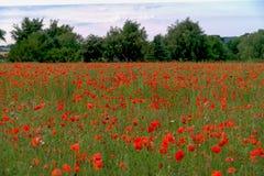 一个红色鸦片领域 免版税库存照片