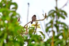 一个红被放气的歌手,一只异乎寻常地鸟,坐枝杈 免版税库存图片
