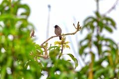 一个红被放气的歌手,一只异乎寻常地鸟,坐枝杈 库存照片