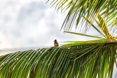 一个红被放气的歌手,一只异乎寻常地鸟,坐枝杈 免版税库存照片