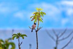 一个红被放气的歌手,一只异乎寻常地鸟,坐枝杈 免版税图库摄影