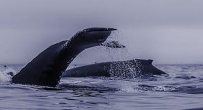 一个组提供的驼背鲸,显示和比目鱼在p 免版税库存照片