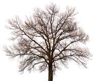 一个结构树的剪影在空白背景的 图库摄影
