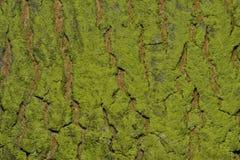 一个结构树的背景吠声与青苔的 免版税库存照片