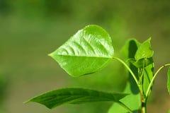 一个绿色分支的图象与叶子的 库存图片