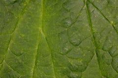 一个绿色叶子结构的宏观图片 免版税库存图片