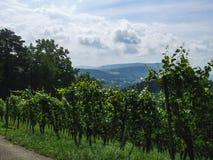 一个绿色葡萄园在Villnachern乡下  免版税图库摄影