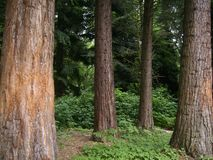 一个绿色黑暗的森林在夏天 波肯,NRW,德国 免版税图库摄影