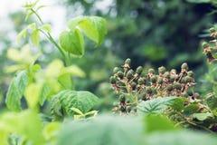 一个绿色黑莓 库存照片