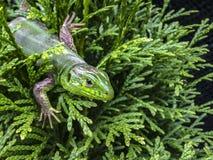 一个绿蜥蜴蝎虎座viridis的宏指令 库存照片
