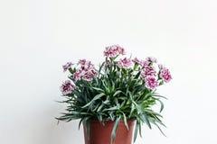 一个罐与白色墙壁的康乃馨花 库存照片