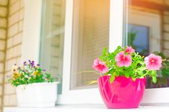 一个罐桃红色喇叭花在窗口,美丽的春天和夏天花站立居家、庭院、阳台或者草坪的,自然wallpa 免版税库存照片