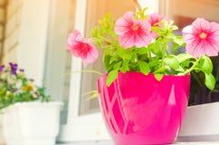 一个罐桃红色喇叭花在窗口,美好的春天站立 免版税图库摄影