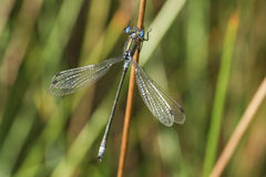 一个罕见的男性缺乏鲜绿色蜻蜓Lestes新仙女木在芦苇栖息 库存图片
